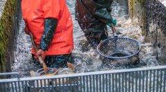 Fischsortierung